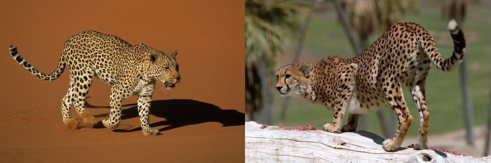 leopard-gepard
